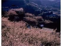 奈良県五條市西吉野町の賀名生(あのう)の梅林
