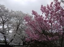 観光駐車場の濃い桜