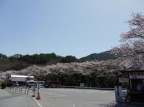 観光駐車場の桜