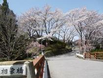 愛染橋の桜