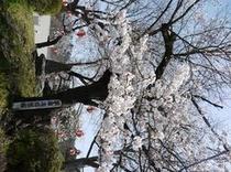 将軍塚の桜