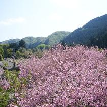 【周辺情報】しだれ桜