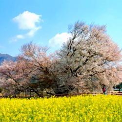 ■一心行の大桜お車で約50分