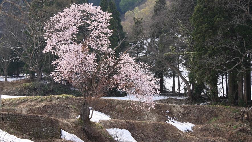 *[中津川の雪見一本桜]残雪に咲く美しく逞しい一本桜(当館から車で約5分)