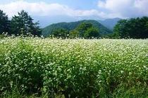 近景・そば畑