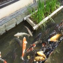 殿町通りの鯉