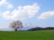 小岩井一本桜 当館から車で約15分