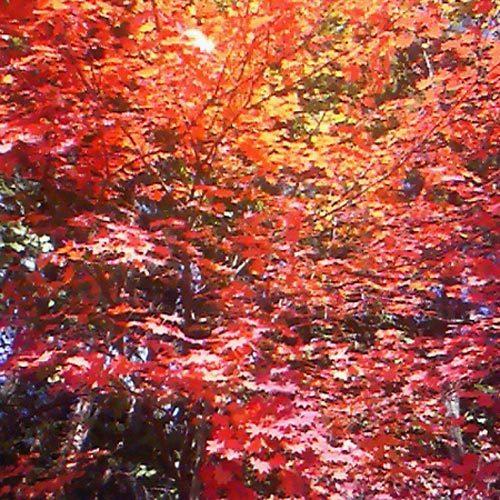 富士の樹海の鮮やかな紅葉