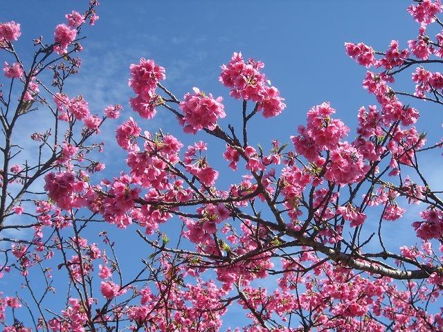 今帰仁グスク桜祭り!鮮やかなピンクの寒緋桜!