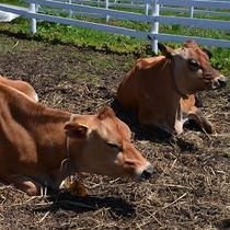 【周辺】ひるぜんジャージーランドでは牛さんがのんびり自由に過ごしています。