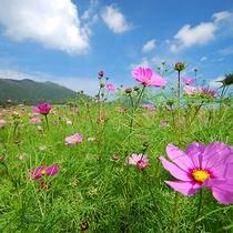 【景色】コスモスが色鮮やかに咲き乱れます♪
