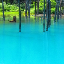 *白金青い池/車で約20分。見頃は例年5月〜6月、7月以降も美しいコバルトブルーを見られます。