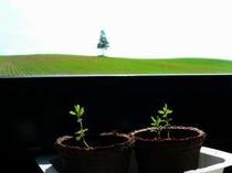 食堂から眺めた夕陽の木、手前はラベンダーの苗木です♪