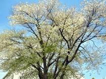 GWの頃は山桜が満開です2