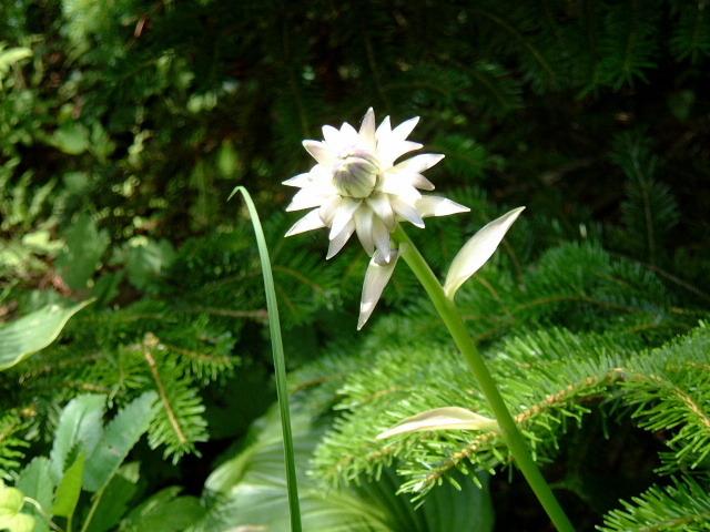 擬宝珠の花