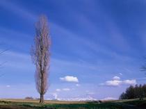 【早春のポプラの木】
