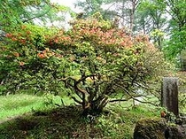 天然記念物大ヤマツツジ 美し森