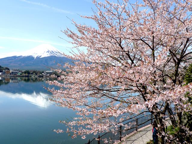 4月中旬が見ごろの河口湖の桜。