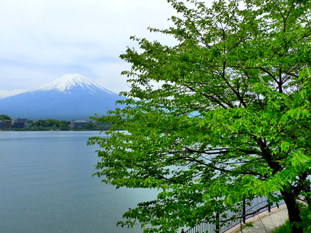 新緑に包まれる5月の河口湖。