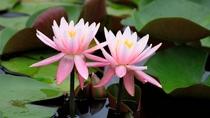 【初夏】メープル猪名川の池には多くのスイレンが花を咲かせます。