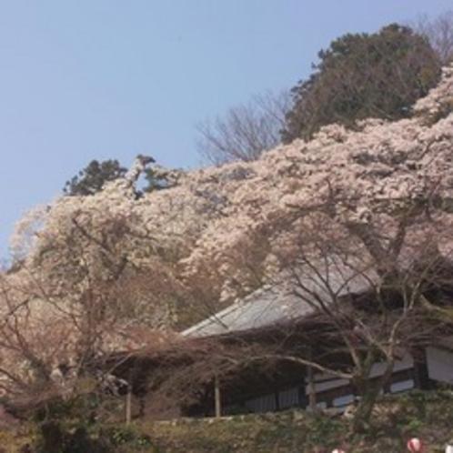 御所坊玄関前善福寺の糸桜