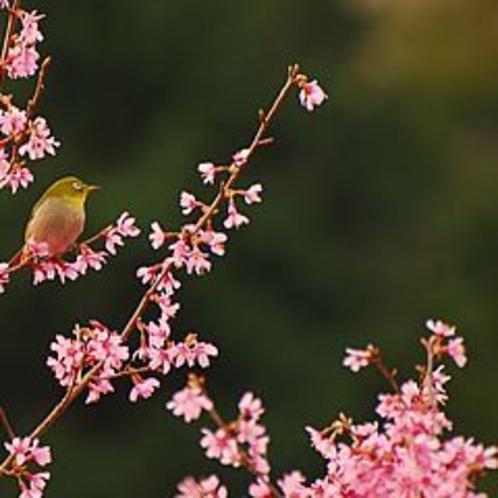桜鶯セット右