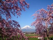 しだけ桜  (花の都公園)