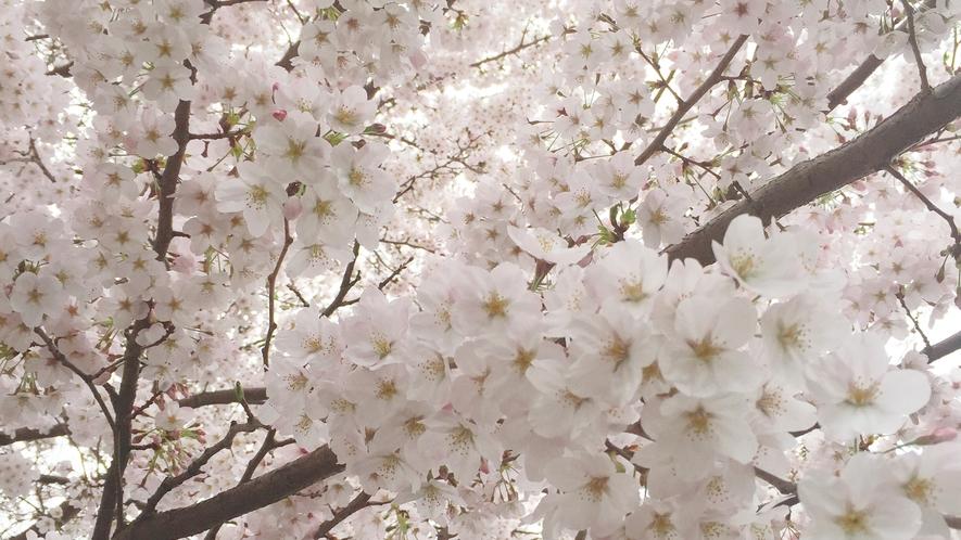 *【桜】4月には自慢の桜木が見事に咲き誇ります