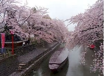 大垣市内水路桜