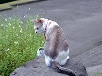 看板猫のほたる