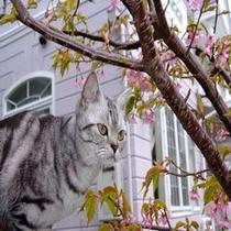 お庭の河津桜