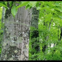 2012春ブナ原生林