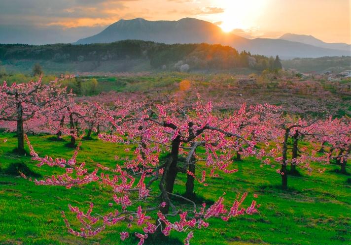 丹霞郷桃の木