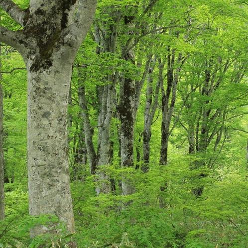 ブナの原生林が作る癒しの力