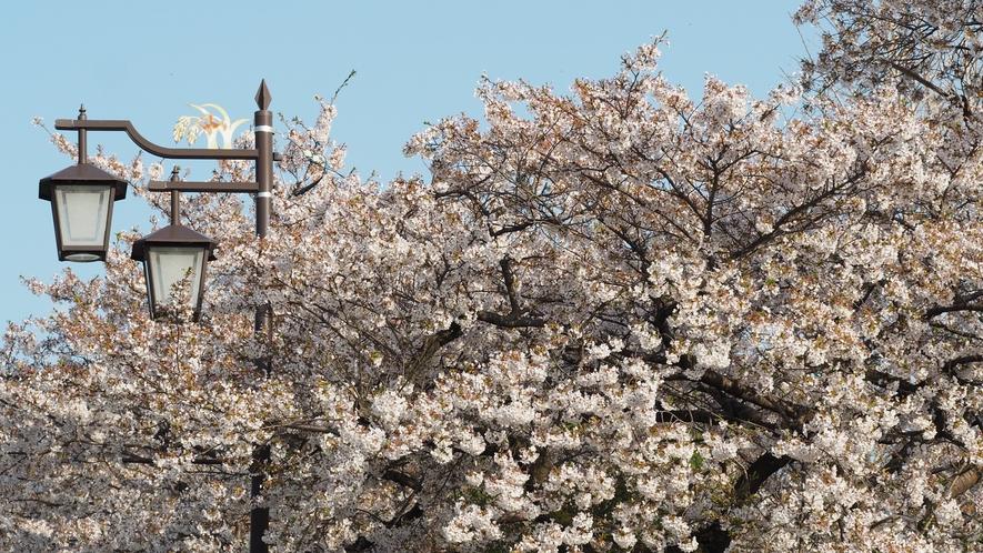 夜間瀬川沿いの桜並木