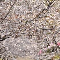 5000本の桜で有名な蛇ヶ谷公園。