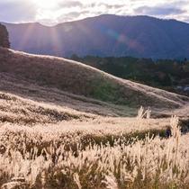 **仙石原のすすき草原/当館から車で15分!秋になると一面に黄金の穂が揺れる美しい風景が名物です。