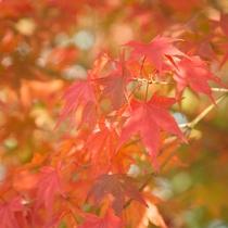 *紅葉/見頃は11月上旬頃。美しい紅葉にうっとり。