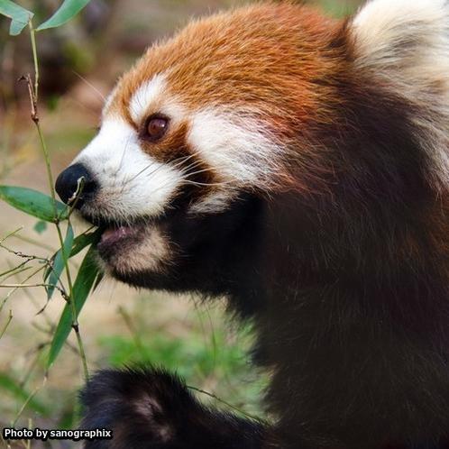 京都市動物園のレッサーパンダ Photo by sanographix
