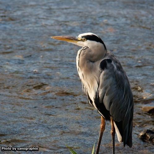 鴨川にいた鳥 Photo by sanographix