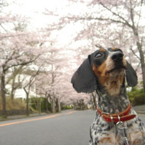 3KMの桜並木は看板犬まで見とれます♪