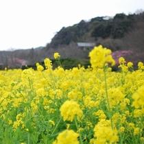 菜の花畑の風景