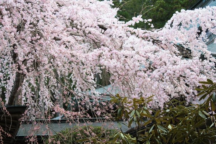 本堂前の桜3