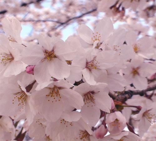 山梨県の春は桜の名所がたくさんあります!