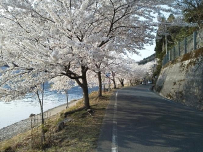 琵琶湖岸4kmにわたって桜のトンネルが続きます。