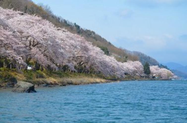 日本のさくら名所100選 海津大崎の桜の通り抜け