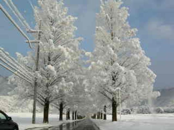 冬のメタセコイアの並木道