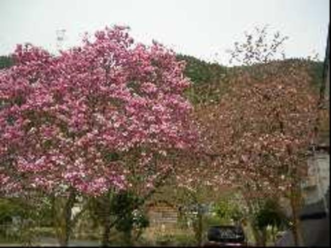 敷地内の木蓮の花や桜、木蓮の花も満開です!
