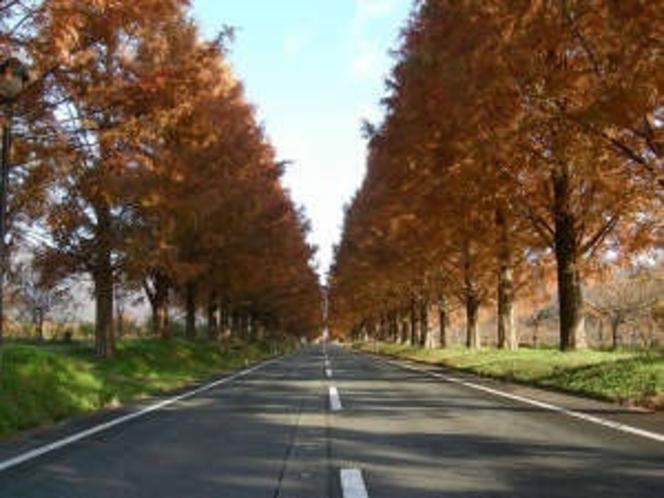 秋のメタセコイヤの並木道