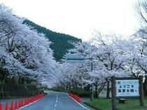 「日本のさくら名所100選」にも選ばれている海津大崎の桜名所。例年、見頃は4月10日前後となります。